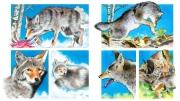 Coyote for Chickadee Magazine