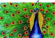 Peacock for Chickadee Magazine