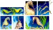 Pregnant Seahorse for Chickadee Magazine