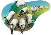 Sheep for Nelson Publishing